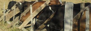 Los productores buscan alternativas al maíz para el ganado