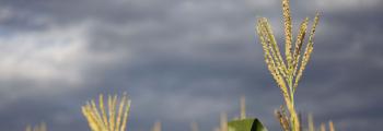 Cosecha del maíz sufre de la falta de lluvias en el sureste