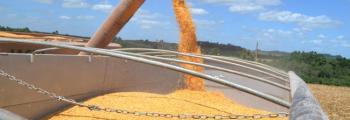 Área de cultivo de maíz alcanza el 17% de RS